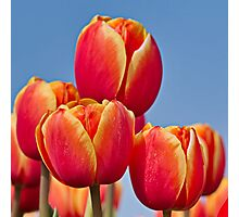 Tulips in the sky Photographic Print