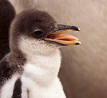 Gentoo Penguin Chick by Stuart Robertson Reynolds