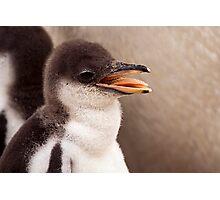 Gentoo Penguin Chick Photographic Print