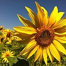 Summer sunflower by katkeldeen