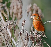 Red Crossbill in Seed Heads by Tom Talbott