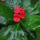 Crown of Thorns on a Rainy Day by jsmusic