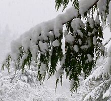 Winter Cedar Boughs  by Elaine Bawden