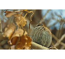 Lil Fluffer, Finch in Montana Winter Photographic Print