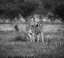 Zebra by Nigel Bryan