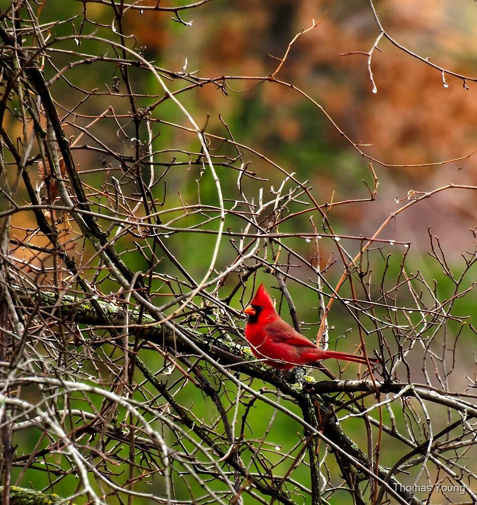 Fall Cardinal by Thomas Young