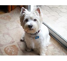 Is there a Westie translator in the house? Photographic Print