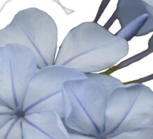 Pale Blue Plumbago Flower With Border No Text Card Sticker