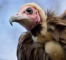 Hooded Vulture / Kapgier by Jacqueline van Zetten