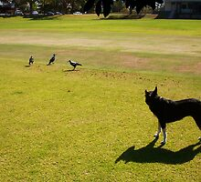 Three Magpies And Jesse The Dog In A Stand Off by Robert Phillips