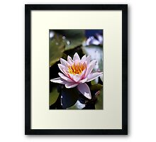 Hardy Water Lily Framed Print