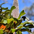 Another Mystery Plant... Banksia grandis or Bull Banksia. by George Petrovsky