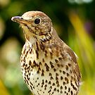 Four Hungry Mouths To Feed... Phew!!! -Song Thrush - NZ by AndreaEL