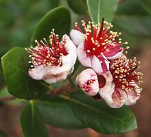 The flower of the Pineapple Guava tree ..  Kilmore East Vic by Margaret Morgan (Watkins)