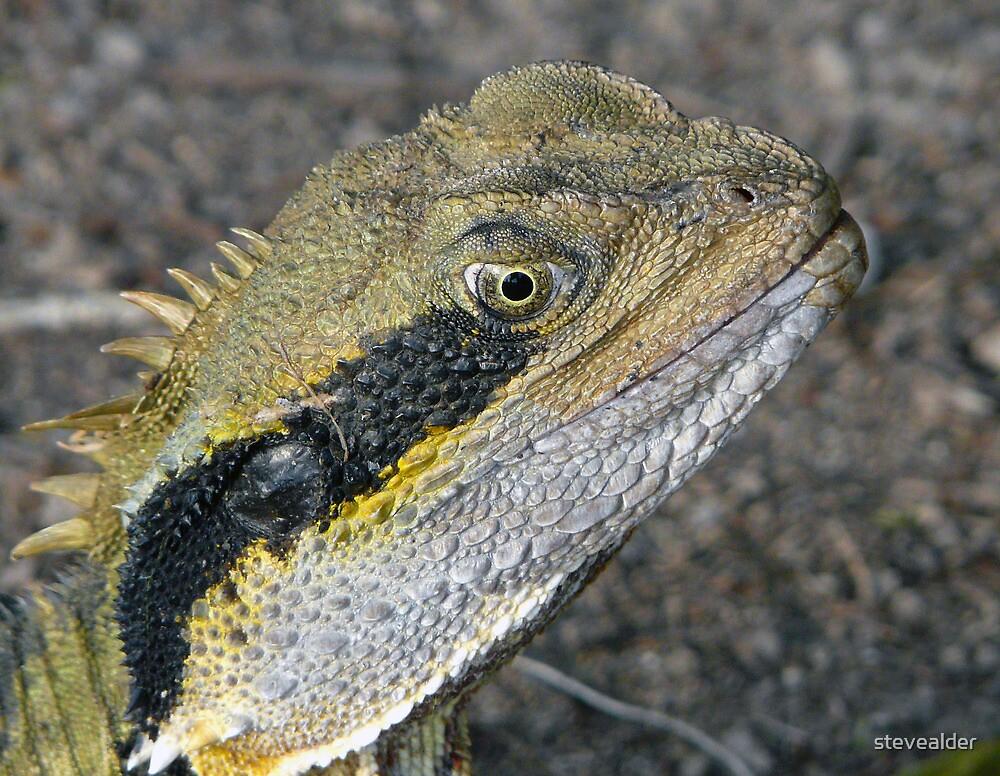 Very Senior Male Water Dragon by stevealder
