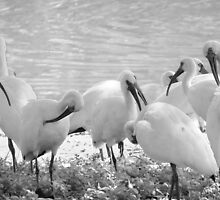 Collection of Florida Birds by AuntDot