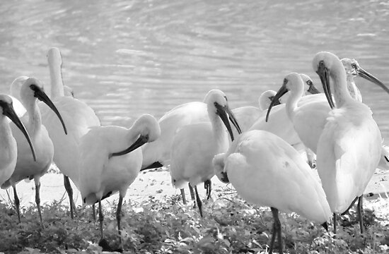 White Ibises in Infrared by AuntDot