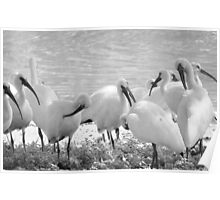 White Ibises in Infrared Poster