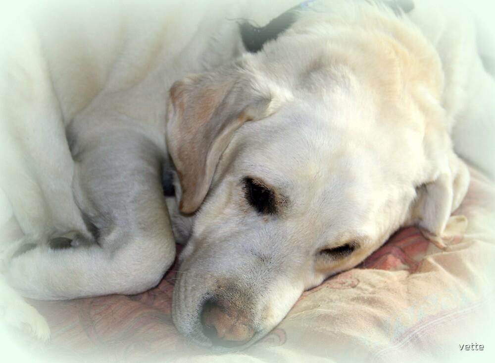 Dakota The Sleeping Lab by vette