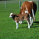 Mother and calf, Mollybrook by Adrian Kent