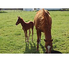 Mare and foal, Mollybrook Photographic Print