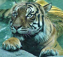 Malayan Tiger by Kathy Newton