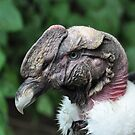 Andean Condor by Kathy Newton