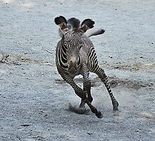 Savannah Newest Zebra at the Zoo :)  by Kathy Newton