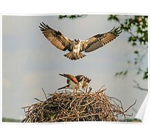 Osprey Pair on Nest Poster