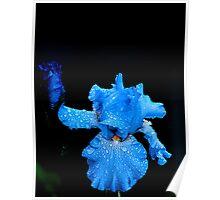 Blue Iris in Rain Poster