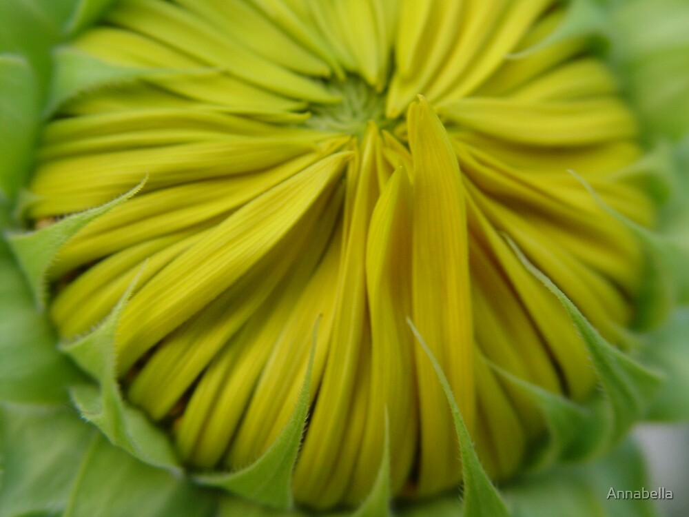 Sunflower unfolding. by Annabella