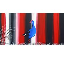 Canterbury Pukeko, New Zealand Swamp Hen Photographic Print