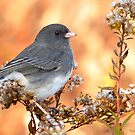 Dark-eyed Junco by Nancy Barrett