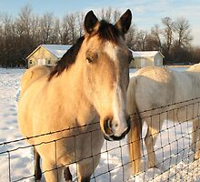 Happy Horse in Winter by Liesl Gaesser