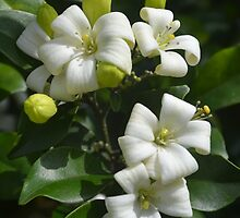 Mock Orange - Philadelphus by Gary Kelly