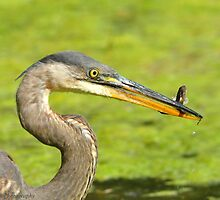Heron with Snack by Nancy Barrett