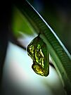 Euploea core pupa by jimmy hoffman
