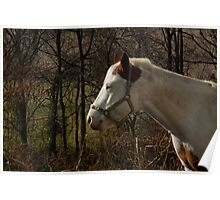 White horse in pasture Poster