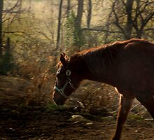 brown horse  by pattipics