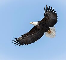 American Bald Eagle 2015-26 by Thomas Young