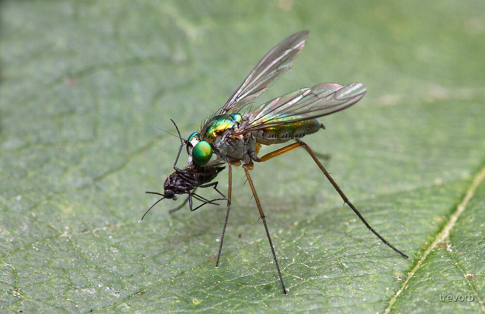 Long Legged Fly. by trevorb