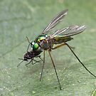 Long Legged Fly. by trevorb