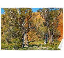 Old Eucalypts Poster