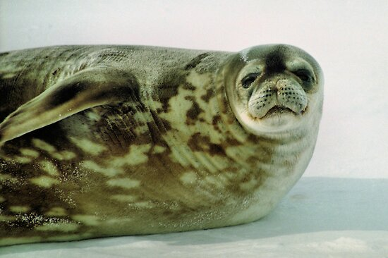 Crabeater Seal, Ross Sea, Antarctica by Carole-Anne