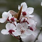 Apple Blossom by acespace