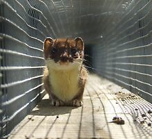 Stoat Tunnel by samantha scantlebury