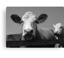 Norfolk Cow Canvas Print
