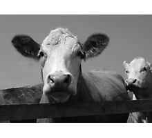 Norfolk Cow Photographic Print