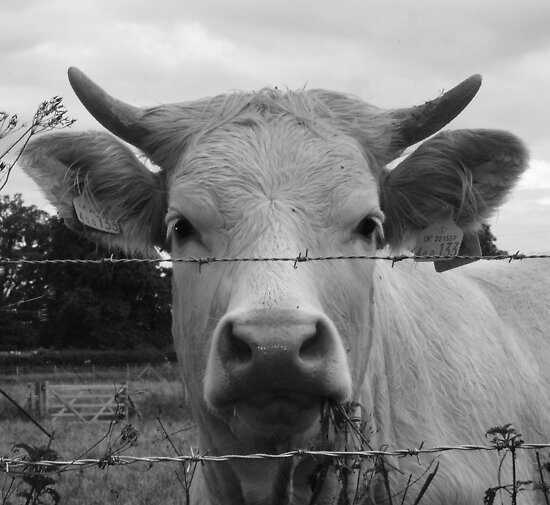 Norfolk Cow 2  by AndyLanhamArt