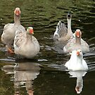 SIX Geese are Laying .... by AnnDixon